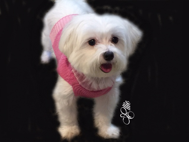 ellie maltese dog breed