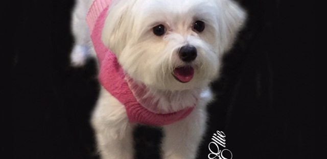 ellie maltese dog breed